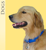 a golden retriever wearing a Top Tag Pet ID